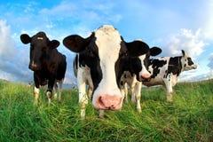 Αστείο κεφάλι αγελάδων πέρα από το μπλε ουρανό Στοκ Φωτογραφία