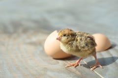 Αστείο κοτόπουλο μωρών κοντά στο αυγό Στοκ φωτογραφίες με δικαίωμα ελεύθερης χρήσης
