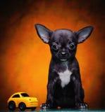 Αστείο κουτάβι σκυλιών chihuahua με το αυτοκίνητο παιχνιδιών Στοκ Εικόνα