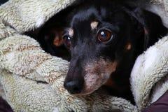 Αστείο μαύρο στούντιο γλωσσών σκυλιών Dachshund Στοκ Εικόνες
