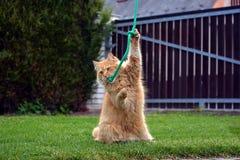 Αστείο μεγάλο παίζοντας παιχνίδι γατών πιπεροριζών Στοκ φωτογραφία με δικαίωμα ελεύθερης χρήσης