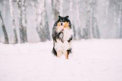 Αστείο νέο τσοπανόσκυλο Shetland, Sheltie, κόλλεϊ που παίζει το υπαίθριο Ι στοκ εικόνες με δικαίωμα ελεύθερης χρήσης