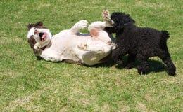 αστείο παιχνίδι σκυλιών στοκ εικόνες με δικαίωμα ελεύθερης χρήσης