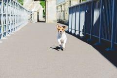 Αστείο παιχνίδι σκυλιών στη γέφυρα που παρουσιάζει γλώσσα στη κάμερα Στοκ Εικόνα