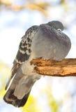 Αστείο παχύ πουλί περιστεριών Στοκ εικόνα με δικαίωμα ελεύθερης χρήσης
