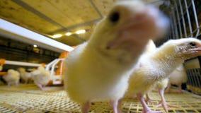 Αστείο περίεργο κοτόπουλο σε ένα αγρόκτημα κοτόπουλου που εξετάζει τη κάμερα Αγρόκτημα κοτόπουλων απόθεμα βίντεο