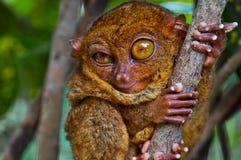 αστείο πιό tarsier κλείσιμο το&upsi Στοκ Εικόνα