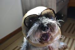 Αστείο πορτρέτο headshot του μοντέρνου και μοντέρνου σκυλιού Στοκ Φωτογραφία