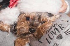 Αστείο σκυλί ενός νέου έτους Ένα μικρό σκυλί στο καπέλο ενός νέου έτους κάθεται στην περιτύλιξη του ιδιοκτήτη στοκ φωτογραφία