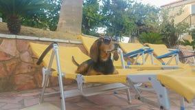 Αστείο σκυλί κυνηγιού σε ένα μόνιππο longue που φορά τα γυαλιά ηλίου σε μια θερινή στιγμή απόθεμα βίντεο