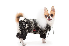 Αστείο σκυλί που φορά φορώντας τη χειμερινή εξάρτηση στοκ εικόνες
