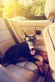 Αστείο σκυλί στο παλαιό καμπριολέ Στοκ φωτογραφία με δικαίωμα ελεύθερης χρήσης