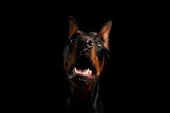 Αστείο σκυλί Doberman κινηματογραφήσεων σε πρώτο πλάνο με την καραμέλα Πάσχας στη μύτη, που απομονώνεται στοκ φωτογραφίες με δικαίωμα ελεύθερης χρήσης