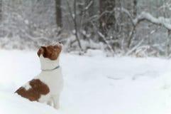 Αστείο τεριέ του Jack russel στο δάσος Στοκ Εικόνες