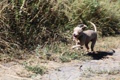 αστείο τρέξιμο σκυλιών Στοκ Φωτογραφίες