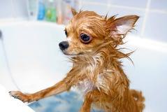 Αστείο υγρό σκυλί chihuahua Στοκ φωτογραφία με δικαίωμα ελεύθερης χρήσης
