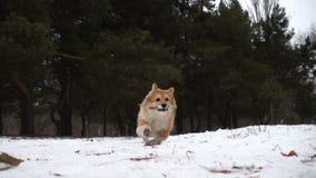 Αστείο χνουδωτό κουτάβι corgi που περπατά υπαίθρια απόθεμα βίντεο