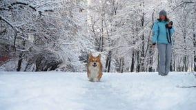 Αστείο χνουδωτό σκυλί corgi που περπατά με ένα όμορφο κορίτσι υπαίθρια απόθεμα βίντεο