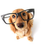 Αστείο dachshund. Στοκ Φωτογραφίες