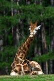 αστείο giraffe έκφρασης Στοκ Φωτογραφίες