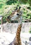 Αστείο Giraffe προσώπου, ζώο άγριας φύσης Στοκ Φωτογραφία