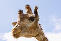 Αστείο giraffe προσώπου με τα μακροχρόνια eyelashes και έναν στενό λαιμό Στοκ Εικόνες