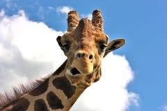 Αστείο Giraffe προσώπου Στοκ φωτογραφία με δικαίωμα ελεύθερης χρήσης