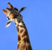 αστείο giraffe Στοκ Φωτογραφίες