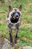 Αστείο hyena Στοκ φωτογραφία με δικαίωμα ελεύθερης χρήσης