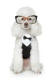 αστείο poodle γυαλιών σμόκιν πα στοκ φωτογραφία