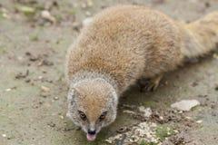 Αστείο suricata Στοκ Φωτογραφίες
