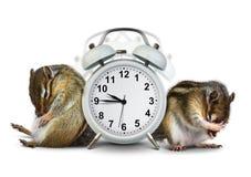 Αστείο wakeup ζώων chipmunks με το χτυπώντας ρολόι Στοκ φωτογραφία με δικαίωμα ελεύθερης χρήσης