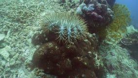 Αστερίας αγκαθιών κορωνών στο κοράλλι απόθεμα βίντεο