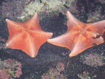 αστερίας δύο Στοκ φωτογραφία με δικαίωμα ελεύθερης χρήσης