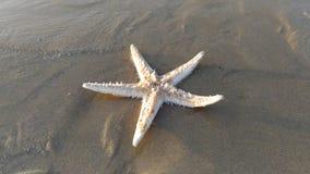 Αστερίας θάλασσας Στοκ εικόνα με δικαίωμα ελεύθερης χρήσης