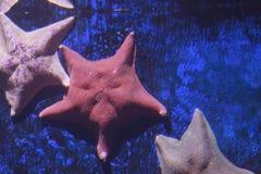 Αστερίας ροπάλων, miniata Asterina στοκ φωτογραφία με δικαίωμα ελεύθερης χρήσης