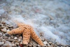 αστερίας Στοκ φωτογραφίες με δικαίωμα ελεύθερης χρήσης