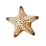 Αστερίας/Seastar που απομονώνεται στο άσπρο υπόβαθρο Στοκ Φωτογραφία