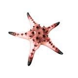 Αστερίας/Seastar που απομονώνεται στο άσπρο υπόβαθρο Στοκ Εικόνες