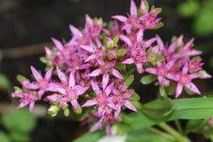 Αστερίσκος λουλουδιών Στοκ φωτογραφίες με δικαίωμα ελεύθερης χρήσης