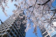Αστικές ζούγκλα και φύση: Άνθη κερασιών Στοκ Φωτογραφία