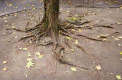 αστική αυλή δέντρων ριζών Στοκ εικόνες με δικαίωμα ελεύθερης χρήσης