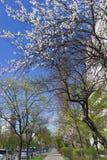 Αστική αλέα πεζοδρομίων την άνοιξη με τα ανθίζοντας οπωρωφόρα δέντρα ενάντια στο μπλε ουρανό Στοκ εικόνα με δικαίωμα ελεύθερης χρήσης
