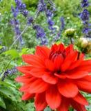 Αστικός κήπος στην κόκκινη εστίαση νταλιών άνθισης στους οφθαλμούς Στοκ Φωτογραφίες