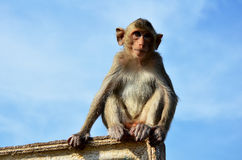 Αστικός πίθηκος Στοκ εικόνες με δικαίωμα ελεύθερης χρήσης