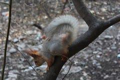 Αστικός σκίουρος Στοκ εικόνες με δικαίωμα ελεύθερης χρήσης