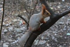 Αστικός σκίουρος Στοκ φωτογραφία με δικαίωμα ελεύθερης χρήσης