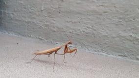Αστικό Mantis στοκ εικόνα