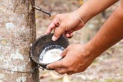 λαστιχένιο δέντρο παραγωγών λατέξ Στοκ Εικόνες