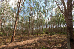λαστιχένιο δέντρο παραγωγών λατέξ στοκ εικόνα με δικαίωμα ελεύθερης χρήσης